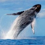 Whale Watching in Oahu – A Breathtaking Adventure in Hawaii
