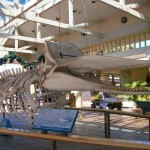 Whalers Village Museum – A Glimpse to Ancient Hawaiian Whaling Life