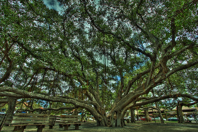 The Banyan Tree - Lahaina, Maui, Hawaii